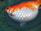 Водянка у риб: опис захворювання, причини, лікування та відгуки