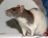 Як мити щурів? Декоративні щури: види, особливості змісту та догляду
