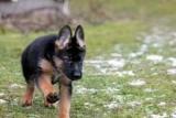 Як вибрати цуценя німецької вівчарки: поради