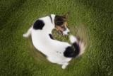 Чому собака гризе свій хвіст? Не просто гра