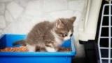 Як часто ходить в туалет кошеня: фізіологічні потреби тварини, норма, причини патології