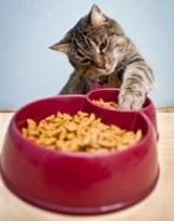 Чому кішка закопує їжу: можливі причини і як відучити