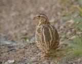 Птах перепел: опис, спосіб життя, розповсюдження