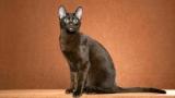 Породи коричневих котів