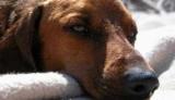Отруєння собаки щурячою отрутою: симптоми і лікування